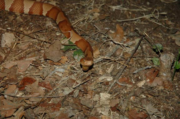 Copperhead Snake Crossing The
