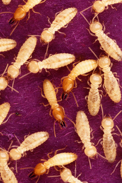 How To how to get rid of termites in kitchen cabinets : Termites in my Mulch!! Yikes!!